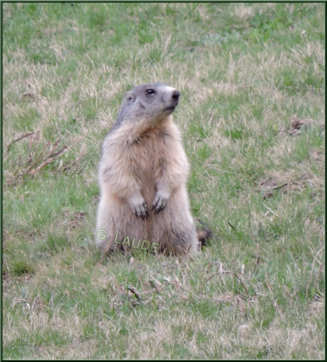 Marmotte gardienne de la colonie