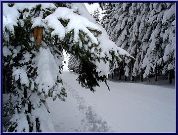 sapins sous la neige